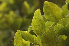 Mangeao. Litsea calicaris. (nznatives) Tags: leaf spring rotorua nz upshot nznative bayofplentynz kaharoa litseacalicaris mangeao