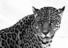 Jaguar in Black and White (Ricardo Venerando) Tags: life nature animal brasil garden wildlife natureza olympus explore bigcat felinos jaguar discovery soe naturesfinest conservacion nationalgeografic platinumphoto flickr10 diamondclassphotographer ysplix goldstaraward ricardovenerando