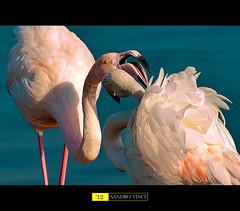 Dialogo tra fenicotteri - Dialogue between flamingos (Sandro Vinci) Tags: life pink sunset nature yellow fauna amazing nikon tramonto blu wilde rosa flamingos natura uccelli nikkor fx 70300mm vr dialogue avifauna ciano fenicotteri naturale riserva becco piume avios d700 sandrovinci