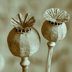 T is for Toning (John Penberthy LRPS) Tags: macro monochrome nikon seed seeds poppy gradientmap toning 105mm d90 johnpenberthy t189522012week39