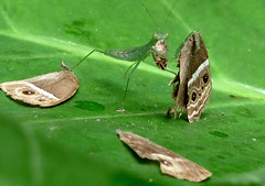 Green vs. Brown (kadavoor) Tags: india green kerala browns prayingmantis nymphalidae satyrinae kadavoor