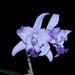 L. Interceps aquinii coerulea – Alex Nadzan