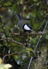 Great Tit (Rovers number 9) Tags: autumn tree bird nature birds minolta bokeh wildlife sony lancashire september 2012 a65 minoltaaf100200f45 bkhq sept2012 sonya65
