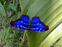 Myscelia orsis (Acauan Cordeiro) Tags: macro azul brasil fauna foto moth lepidoptera borboleta mariposa biology mataatlântica orsis myscelia
