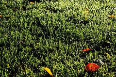 Olympia Laxten - Sportplatz mit Morgentau; Am herbstlichen Dieksee, Lingen, Laxten (112) (Chironius) Tags: morning autumn grass sunrise germany deutschland dawn see alba herbst herfst erba amanecer alemania otoo grasses gras dmmerung landschaft autunno sonnenaufgang allemagne morgen hst germania ochtend herbe matin gegenlicht  morgens zonsopgang emsland mattina lingen jesie aube grser  niedersachsen morgendmmerung morgengrauen  gramines dieksee dageraad   poales  efterret   gauerbach commeliniden ssgrasartige laxten gauerbachsee