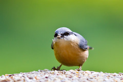 Nuthatch ( EXPLORED ) (ian hatch) Tags: 70200ii ianhatchcanon7d