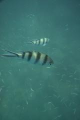 DSC09416 (andrewlorenzlong) Tags: fish swimming swim thailand snorkel snorkeling kohchang kohrang kohrangyai korangyai