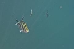 DSC09194 (andrewlorenzlong) Tags: fish thailand snorkeling kohchang kohrang kohrangyai korangyai