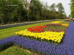 Dutch Tulips, Keukenhof Gardens, Holland - 0747  POTD (HereIsTom) Tags: travel flowers flower holland nature netherlands dutch gardens garden spring europe colours tulips sony cybershot olympus potd tulip bloom keukenhof tulpen tulp webshots e500 f505