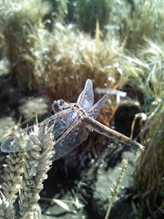 Weekly photo competition winner, 5 October 2012: dragonfly delight (CIMMYT) Tags: latinamerica field mxico insect mexico photo experimental foto dragonfly head wheat contest headquarters competition mexican research ear campo northamerica spike concurso agriculture liblula mexicano plot sede multiplication trigo biodiversity researchcenter insecto amricalatina agricultura parcela atrest biodiversidad espiga caballitodeldiablo researchstation investigacin norteamrica latinoamrica elbatn experimentstation cimmyt geneticresources multiplicacin centrodeinvestigaciones recursosgenticos estacinexperimental estacindeinvestigacin