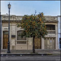 Los Naranjos (MarioVolpi) Tags: old orange tree argentina argentine architecture arbol la arquitectura plata naranja antiguo
