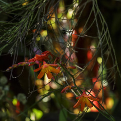 fairy lights in day time! HBM (Wendy:) Tags: crocosmia bokeh colours orange odc hbm