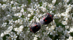 Cosmopepla lintneriana 7.21.16 (Des Lea) Tags: nature macro bugs insects entomology desralea flower queenanneslace pennsylvania summer warmth blackwithredbug stinkbugs cosmopeplalintneriana