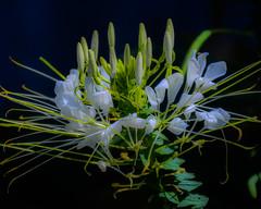 DSC_1109 edited-302 (pattyg24) Tags: cleome milwaukeecountyzoo wisconsin flower nature plant summer white