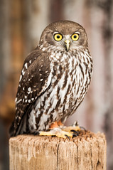 Hoot hoot (Richard Mart1n) Tags: owl wildlife wilderness nature bird birds birdwatching watching animals animal awesome reptile wing wings birdy feather