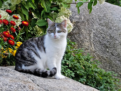Cat on the rocks - (rotraud_71) Tags: summer rocks flowers cat garden notmycat