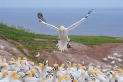 Landing Gannet (Golden_Arrow) Tags: gannet perce bonaventute national park quebec rock