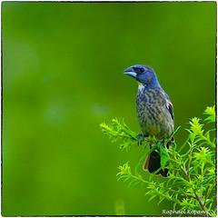 Blue Grosbeak (2) (RKop) Tags: a77mk2 600mmf4apogminolta armlederpark cincinnati ohio raphaelkopanphotography sony