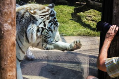 Play with the tiger 3 (Rolf Piepenbring) Tags: weisertiger tiger whitetiger zoooverloon wittetigger