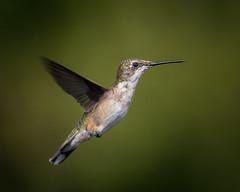 Ruby-Throated Hummingbird (bartlepm) Tags: hummingbird green nikon nikonlove tamron detail strobe