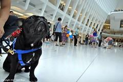 Puppy Loves The Oculus (Trish Mayo) Tags: calatrava puppy dog blackbulldog architecture transportationhub oculus
