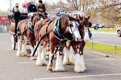 IMG_7137 (Click. Boom.) Tags: horse horses drafthorses clydesdales carton beer brewery horseandcart driving