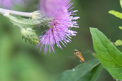 Hoverfly with cirsium flower (shizen.shigen) Tags: ft1   episyrphusbalteatus cirsiumoligophyllum hoverfly