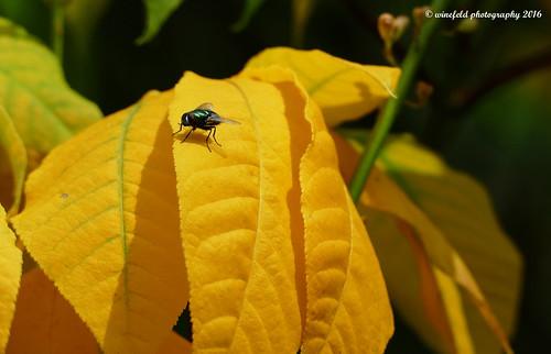 Gelbes Blatt mit Fliege / Yellow sheet with fly