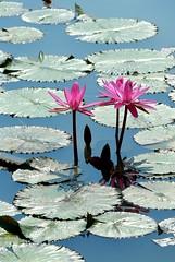 DP1U4109 (c0466art) Tags: 2016 summer season lotus field  wate rlilies cloom colorful flowers scenery landscape canon 1dx c0466art