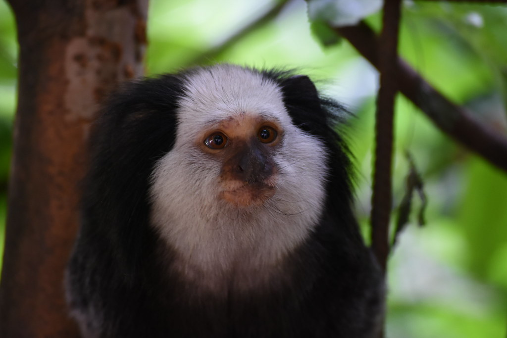 a brief look at the golden marmosets or leontophithecus chrysomelas This list of endangered monkeys highlights the need for conservation  golden lion tamarin: leontopithecus rosalia:  leontopithecus chrysomelas:.