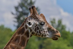 girafe (rondoudou87) Tags: girafe giraffe parc reynou animal pentax k1 nature wildlife wild portrait side face zoo