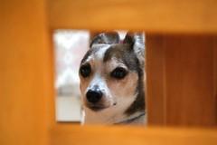 (koutakuokumura) Tags: canon eoskissx7 dog pet