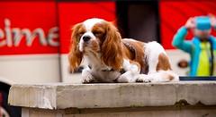 King Charles on duty (coolbe2009) Tags: cavalieriking king charles spaniel hamburg dog sweet love