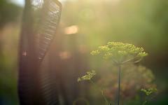 Fragrances From The Herb Garden (Lala Lands) Tags: gardenfence happyfencefriday hff herbgarden dill summergardens communitygardens summereveninglight bokeh dof nikor105mmf28 nikond7200