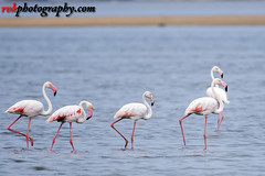 Wildlife photoshoot @ Pulicat Lake, India (rvk82) Tags: 2016 august2016 birdsanctuary birds india nature nikkor200500mm nikon nikond500 photography pulicat pulicatbirdsanctuary pulicatlake rvk rvkphotography raghukumarphotography southindia tamilnadu wildlife rvkphotographycom andarmadam in rvkonlinecom