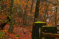 Faskally in Fall (stephenb19) Tags: autumn pitlochry faskally loch scotland scottish nature landscape fall autumnal foliage trees orange gold yellow brown red post woodland woods forest leaves leaf strewn 2015 highlands winter