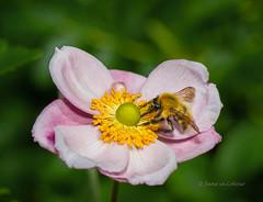 Bee Happy (Jane in Colour) Tags: japaneseanemone flower petals summer pollen pink yellow garden themacrogarden bee bumblebee nikon nikond600 afs105mmf28gvr macro macrolife macrolicious macrolens sb910 flash