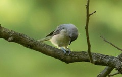 7K8A8790 (rpealit) Tags: scenery wildife nature east hatchery hackettstown alumni field tufted titmouse bird