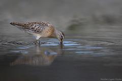 Bcassin roux / Short-billed dowitcher (Maxime Legare-Vezina) Tags: bird oiseau nature wild wildlife animal fauna biodiversity canon ornithology water reflection