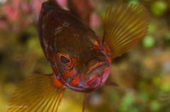 DSC_6822 (bajo_el_mar) Tags: 2016 asturias cantbrico lastres serranuscabrilla underwater cabra cabrilla fotosub pez
