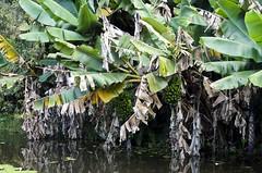 Bananas do Lago 02 (Parchen) Tags: banana cachodebananas cachosdebananas bananeira bananal bananas lago verde verdes musa musacavendishi musaparadisiaca musasapientum nomecientífico musaceae água foto fotografia imagem registro parchen carlosparchen musaspp