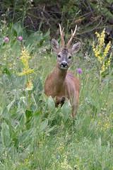 Roe Deer - Capriolo (carlogaia) Tags: roe deer capriolo sottobosco fiori palco pontechianale chianale valle varaita
