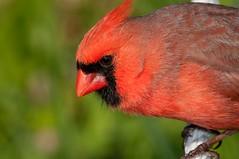 2016 Northern Cardinal 28 (DrLensCap) Tags: northern cardinal montrose point bird sanctuary chicago illinois il robert kramer