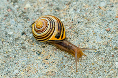 Traveler (A Great Capture) Tags: snail shell agreatcapture agc wwwagreatcapturecom adjm toronto on ontario canada canadian photographer northamerica ash2276 ald mobilejay jamesmitchell summer summertime 2016 eos digital natur nature naturaleza natura whitelipped cepaea hortensis land terrestrial pulmonate gastropod mollusc stripes