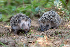 babies - common hedgehog, Igel, Erinaceus europaeus @ Torgau, Zwethau 2016 (Jan Rillich) Tags: zwethau torgau sachsen keller 2016 jan rillich janrillich picture photo photography foto fotografie eos digital wildlife animal nature beautiful beauty sunny sun fauna flora free animalphotography commonhedgehog igel erinaceuseuropaeus babyhedgehog babyigel baby offspring garden feeding two september small petit klein hedgehog sigma35mmf14dgart sigma 35mm f14 dg art