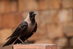Bird (raperol) Tags: bird airelibre ave cuervo delhi qutur