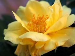 P9171287 (SnapRat200) Tags: epl6 macro extensiontube olympus flowers rose