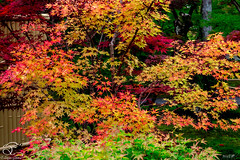 50 Shades of Fall (BeNowMeHere) Tags: ifttt 500px trip 50shadesoffall benowmehere fall fallcolours japan japanesemaple kyoto landscape maple mapletree nature autumn travel