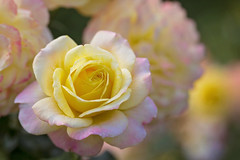 Pretty You Are (Synapped) Tags: second rose flower yellow pink portland garden oregon