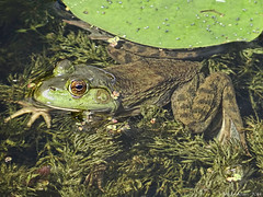 Frog. Sun. Clear Water. (Badhabit07) Tags: sony cybershot dschx100v grenouille frog sepaq oka water